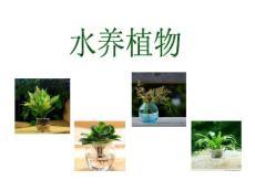 家养水培植物推荐