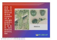 蔬菜栽培学8-3课件(园艺植物栽培学)
