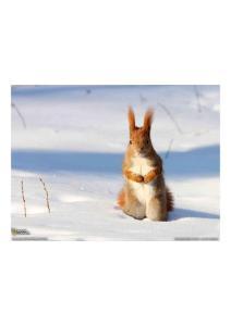 2011年2月19日 Red Squirrel, Poland