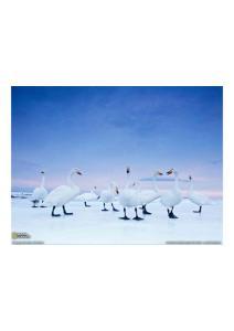 2011年3月9日 Whooper Swans, Hokkaido