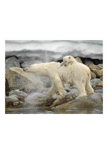 2011年4月10日 Polar Bear and Cub, Svalbard