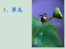 三年级语文下册第5课 翠鸟 课件