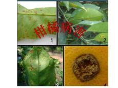 2012柑橘病害