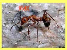 教科版小学科学三年级上册第二单元《蚂蚁》课件